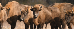 Poland's Fight With The EU: Enter The Bison