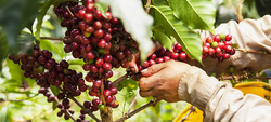 Colombia | Coffee Grows Better After Guerrillas Leave